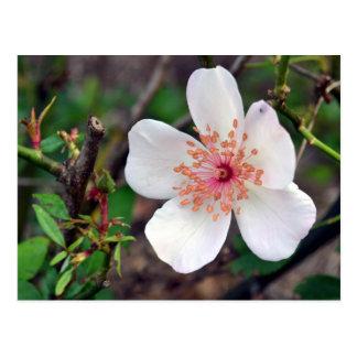 Crystal Fairy Rose Flower Postcard
