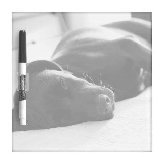 Cuadrado soñoliento del labrador retriever del per tableros blancos