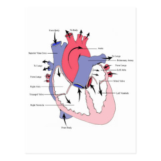 Cuadro 2. corazón normal Function.jpg Postal
