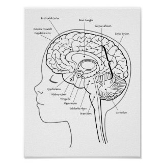 Cuál está en su poster del cerebro