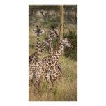 Cuarteto de la jirafa tarjetas fotográficas