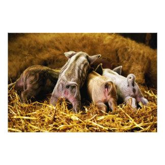 Cuatro cerdos de Mangalitsa del cochinillo del beb Impresion Fotografica