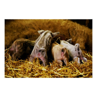 Cuatro cerdos de Mangalitsa del cochinillo del beb Póster