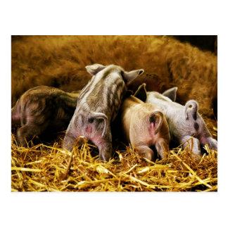 Cuatro cerdos de Mangalitsa del cochinillo del Postal
