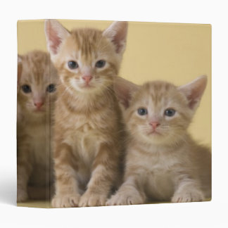 """Cuatro gatitos de Shorthair del americano Carpeta 1 1/2"""""""