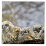 Cuatro grandes polluelos del búho de cuernos (bubó azulejo cuadrado grande