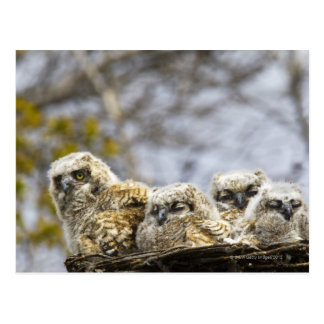 Cuatro grandes polluelos del búho de cuernos postal