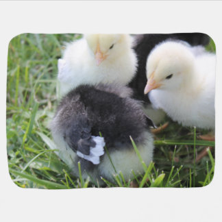 Cuatro negros y polluelos amarillos del pollo del manta de bebé