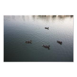 Cuatro patos impresiones fotograficas