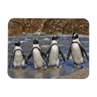 cuatro pingüinos africanos divertidos, Cape Town Iman De Vinilo