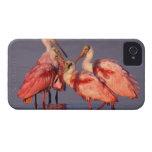 Cuatro Spoonbills rosados (ajaja del Ajaia) en el Case-Mate iPhone 4 Cobertura