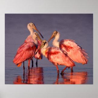 Cuatro Spoonbills rosados ajaja del Ajaia en el Impresiones
