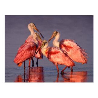Cuatro Spoonbills rosados (ajaja del Ajaia) en el  Tarjetas Postales