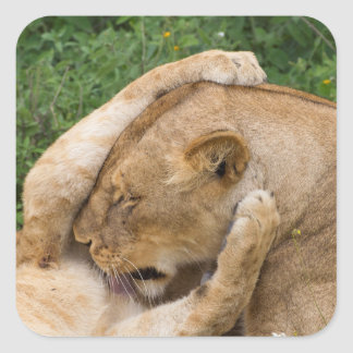Cub Playing with Lioness Square Sticker