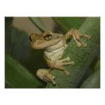 Cuban Treefrog. Photo