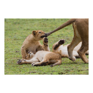 Cubs Playing with Lioness Poster