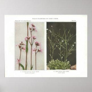 Cuckoo-Flower; Ragged Robin - Lychnis flos-cuculi Poster