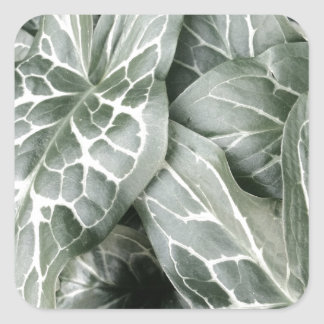 Cuckoo Pint Leaves In Black And White Square Sticker