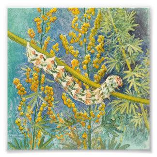 Cucullia Absinthii Caterpillar Cojinete