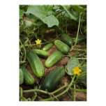 Cucumber Patch Poster (in many sizes)