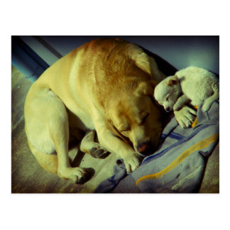 Cuddling Labrador and puppy Postcard