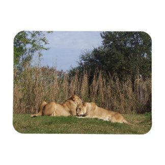 Cuddling Lions Magnet