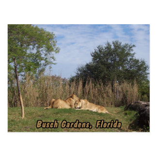 Cuddling Lions Postcard