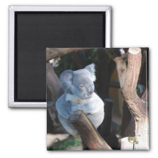 Cuddly Koala 2 Inch Square Magnet