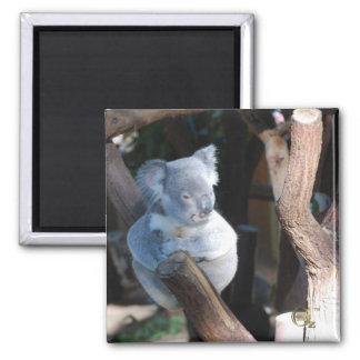 Cuddly Koala 2 Inch Square Magnet