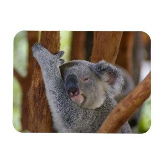 Cuddly Koala Photo Magnet