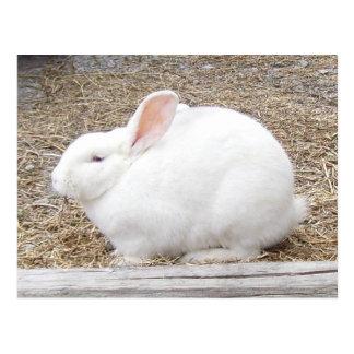 Cuddly White Bunny Postcard