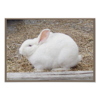 Cuddly White Bunny Poster
