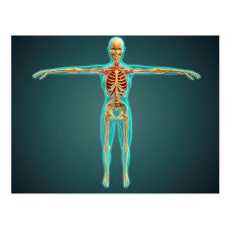 Cuerpo humano que muestra el sistema esquelético, postal