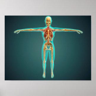 Cuerpo humano que muestra el sistema esquelético, póster