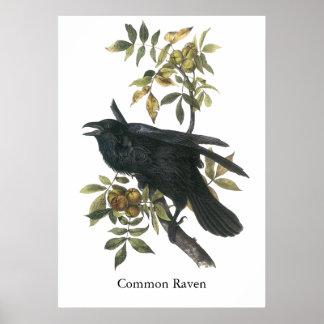 Cuervo común audubon de Juan Impresiones