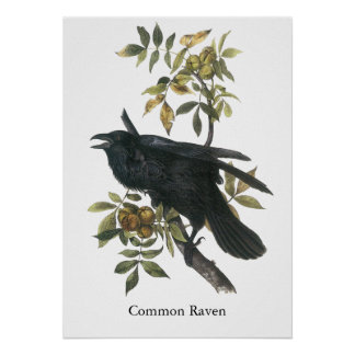 Cuervo común, audubon de Juan Póster
