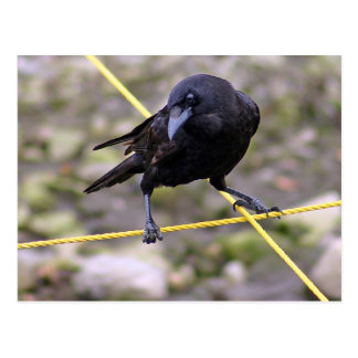 Cuervo en los cruces tarjeta postal