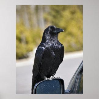 Cuervo negro - impresión de la bella arte póster