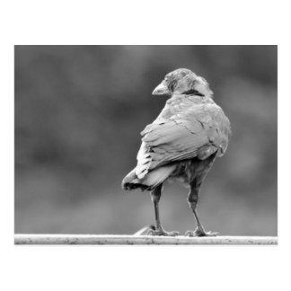 Cuervo negro postal