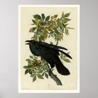 Cuervo Póster
