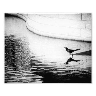 Cuervo reflejado en el agua - fotografía de B W