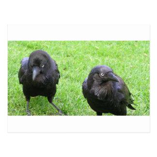 Cuervos disimulados postales