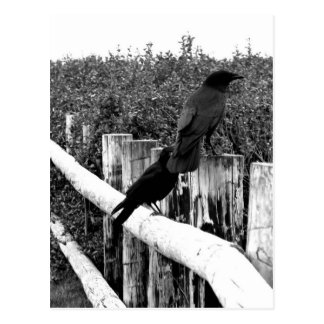 Cuervos Tarjetas Postales