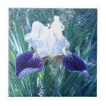 Cultivar Maria Todd del iris barbudo Azulejo Cuadrado Pequeño
