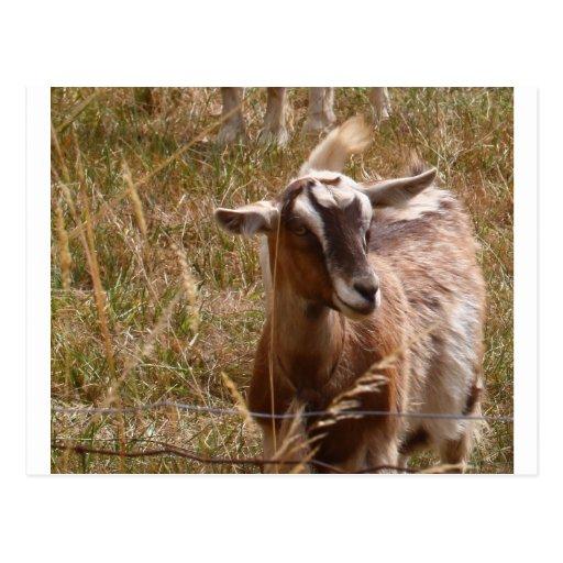 Cultivo de cabras postal