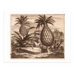 Cultivo de las piñas grandes, ejemplo de un desc tarjetas postales