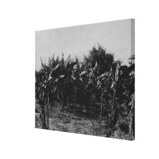 Cultivo del plátano, Trinidad, c.1891 Lona Estirada Galerías