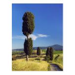 (cupressus sempervirens)  - Europe, Italy, Postcard