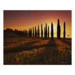 (cupressus sempervirens) - Europe, Italy, Poster