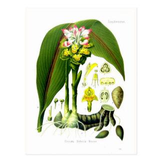 Curcuma zedoaria post cards
